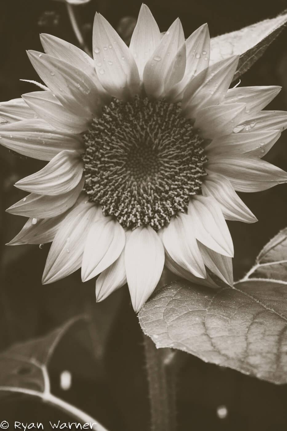 Backyard Sunflower Plants