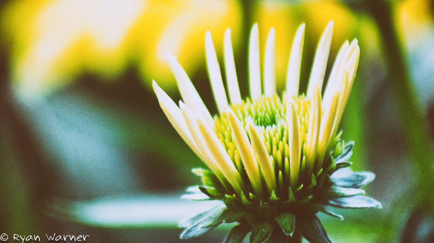 Echinacea #11 – Park of Roses – Columbus, Ohio
