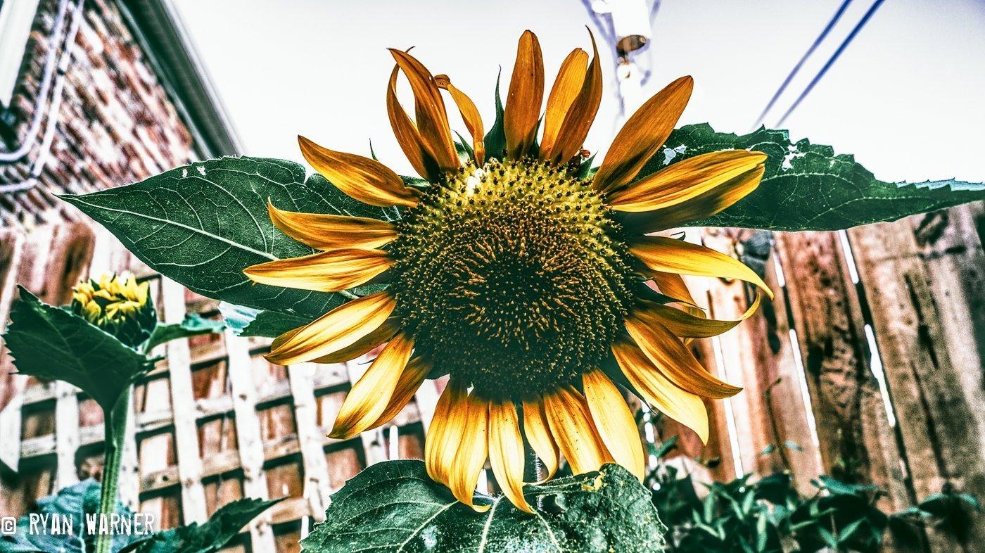 Ryan Warner - Photography - Sunflower #13 - Back Patio - 2020