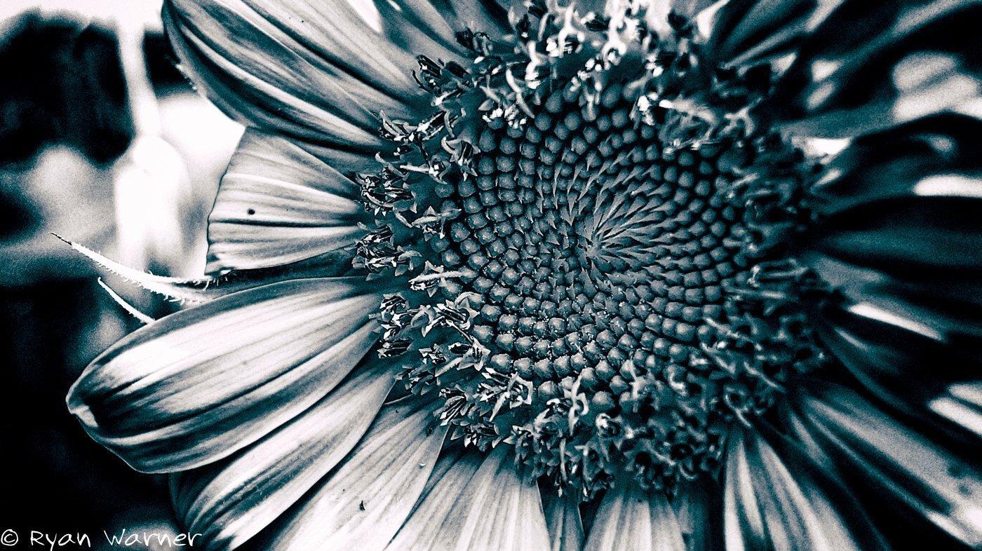 Ryan Warner - Photography - Sunflower #2 - Back Patio - 2020