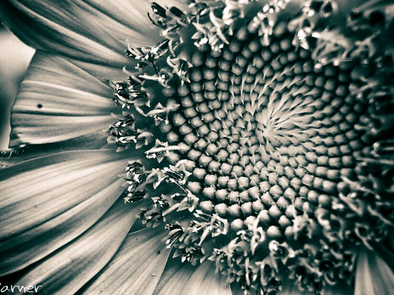 Ryan Warner - Photography - Sunflower #4 - Back Patio - 2020