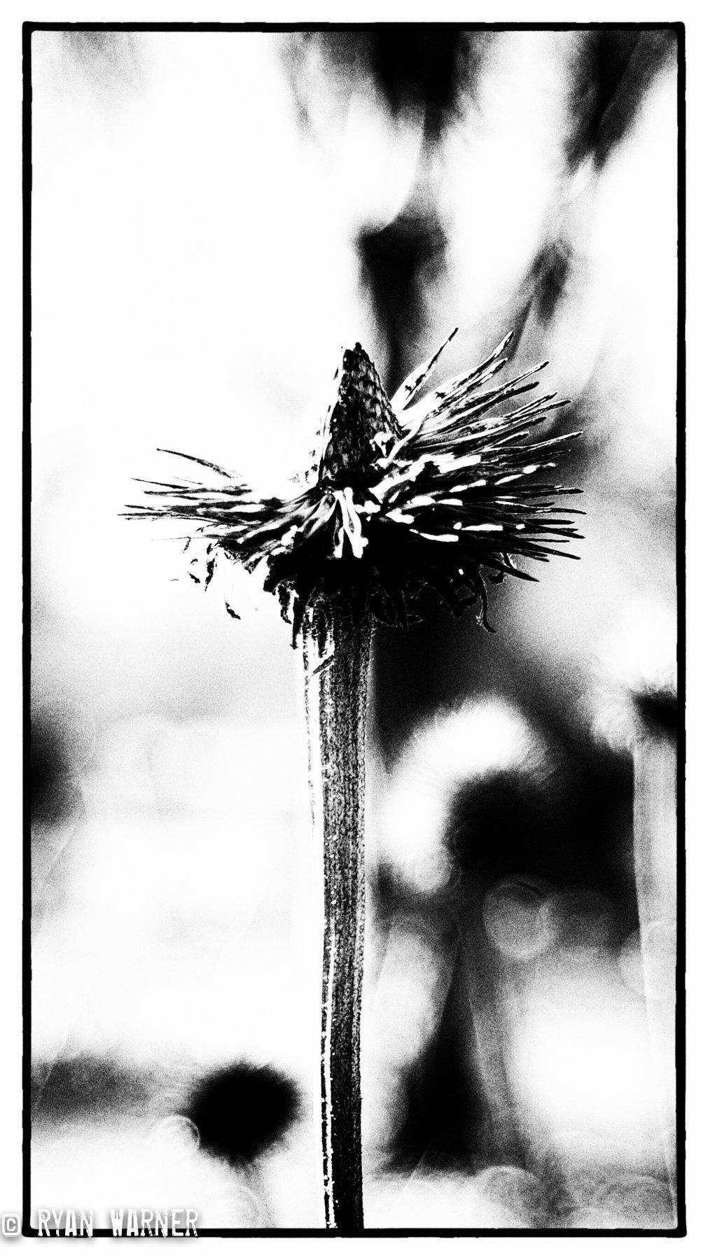 Ryan Warner - Photography - Dead Flowers