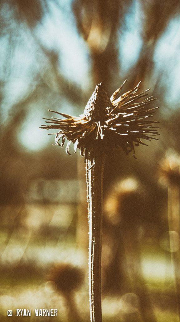 Ryan Warner - Photography - Dead Flowers #2