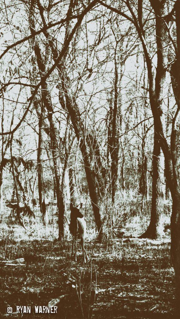 Ryan Warner - Photography - Deer #1