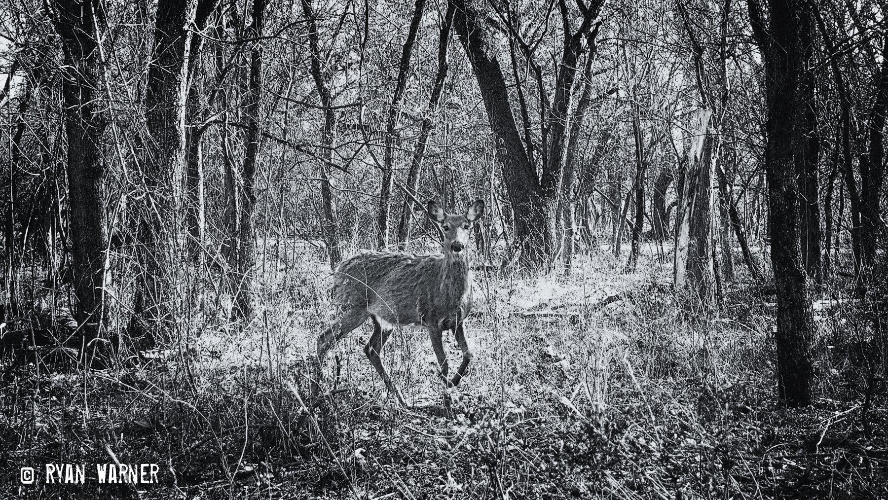 Deer #3 – Clintonville – 2021