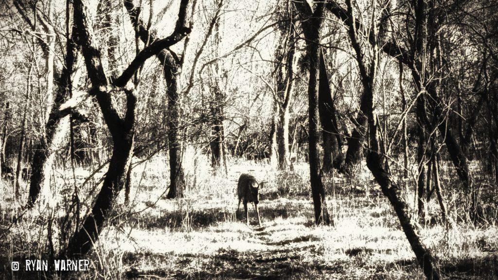 Ryan Warner - Photography - Deer #2