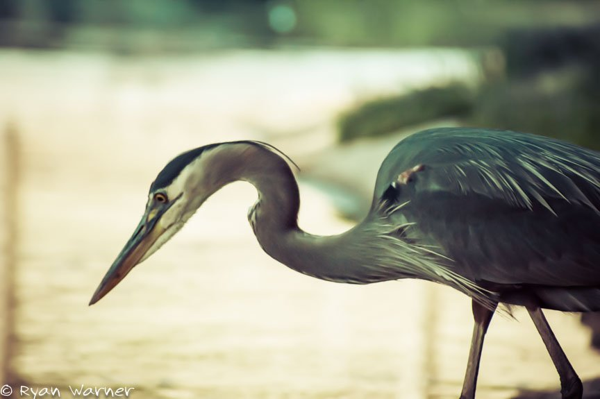 Grey Egret – Columbus, Ohio – 2015