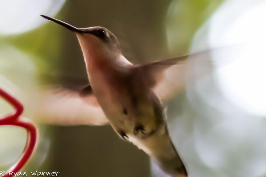 humming bird – Hocking Hills – Ryan