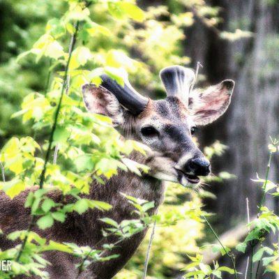 Ryan Warner - Photography - Deer#2 - Whetstone Park - 2021