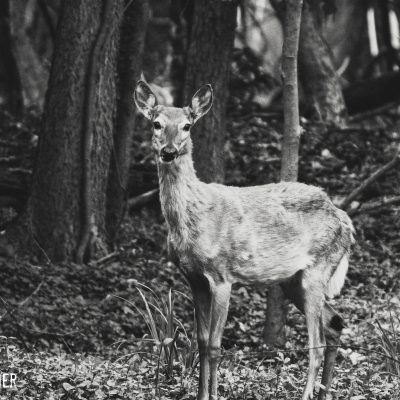 Ryan Warner - Photography - Deer #3
