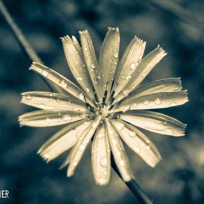 Ryan Warner - Photography - Flower and Rain - Manitoulin Island - 2017