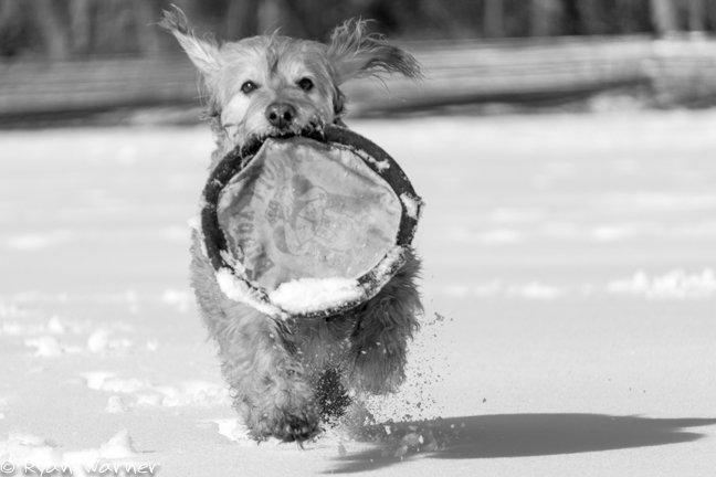 Ryan Warner - Photography - Snow Dog #4